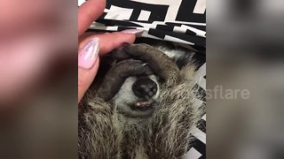 Adorable raccoon really doesn't want to wake up