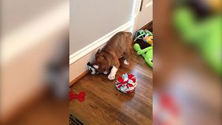 Bulldog Plays With Doorstopper