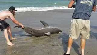 Group of Men Rescue Baby Great White Shark at Capistrano Beach, California - Video