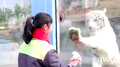 Worker Walks Up To White Tiger's Enclosure To Clean The Window, Cat's Reaction Is Too Funny
