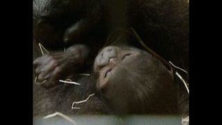 CUTE Baby Gorilla - Video