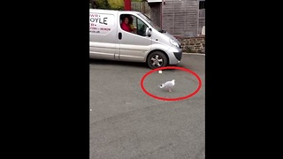 Welsh Dancing Seagull - Video