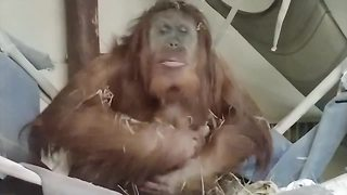 Cheyenne Mountain Zoo welcomes baby orangutan - Video