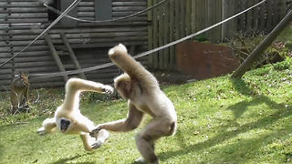 Crazy gibbons put on spectacle for zoo visitors