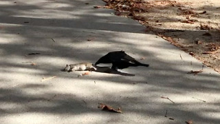Crow shows pizza rat who's boss