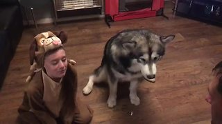 Girl In Dog Costume Helps Alaskan Malamute Practice Tricks