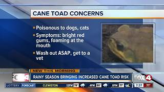 Conditions right for dangerous Cane Toads