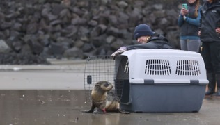 Injured Baby Seal Released Back Into The Wild - Video