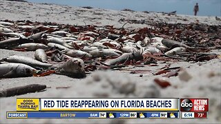 Concentrations of red tide reappearing on some Florida beaches