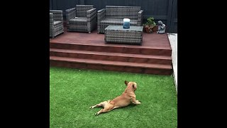 French Bulldog hilariously scratches himself on new turf
