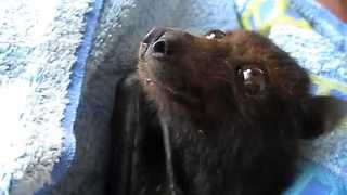 Tiny Flying Fox Recovers After Heatwave Stress - Video