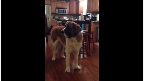 Hungry Saint Bernard Argues With Owner Over Loaf Of Bread