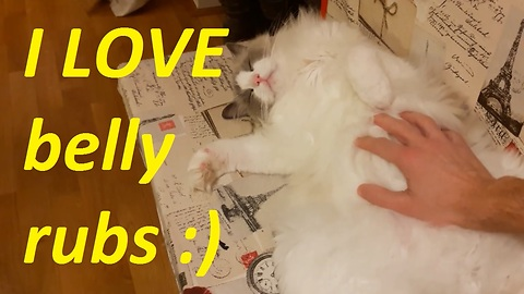 Cat enjoys cuddling and belly rubs