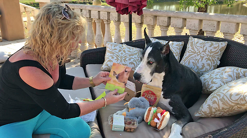 Happy Great Dane Gets Surprise Gift Box from You Tube Fan