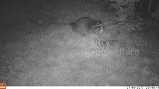 Trail cam catches raccoon eating baby rabbits - Video