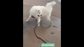 Samoyed's first time at the beach is a mind-blowing experience