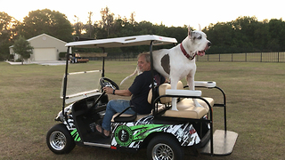 Huge Great Dane Loves Riding in the Zombie Golf Cart