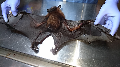 Bat Has Life-Saving Surgery On Broken Wing: WILDEST ANIMAL RESCUES