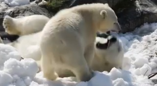 Polar Bears Have Winter Fun in the Sun Thanks to Super Cool Gift: Snow - Video