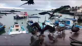 Pelicans make laughing sounds as Galapagos fishermen share their catch