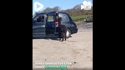 Trying To Put An Alpaca Into A Taxi