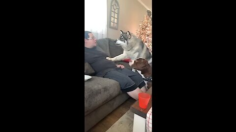 Vocal husky hilariously argues with his owner