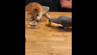 Parrot and puppy share an apple together