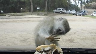 What a cheeky monkey! – Miniature primate becomes frustrated after attempting to steal a burger  - Video