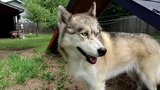 Husky wants to dig to China - Video