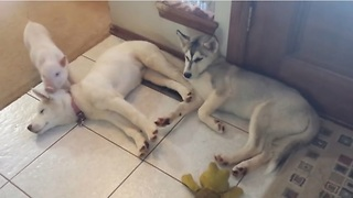 Piglet bonds with pair of husky puppies - Video