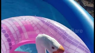 Just a goose cooling off in a pool - Video
