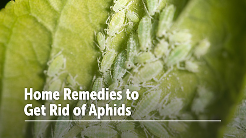 Home Remedies to Get Rid of Aphids