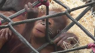 Orangutan family relaxes in the sun - Video