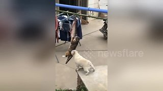 Bulldog wants to play with cat busy hanging in mid-air stealing fish in China