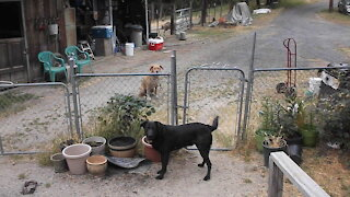 Farm dog opens gate to let his friend come inside to play