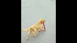 Golden Retriever Puppy Takes Herself For A Walk