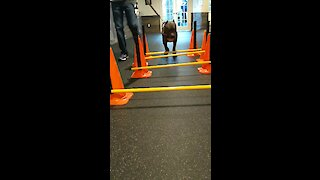 Precious pit bull needs physical therapy practice