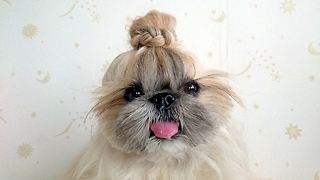 Hairstyle Dog: Fashionable Pooch Becomes Instagram Sensation - Video