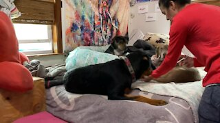Sweet Baby Rottweiler Gets a Manicure
