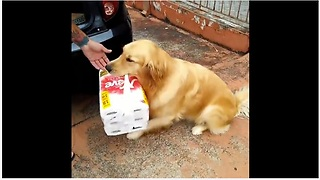 Golden Retriever helps carry in the groceries - Video