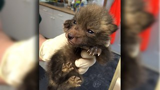 Cute Fox Cubs Rescued By Wildlife Charity - Video