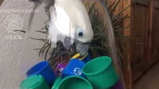 Clever Cockatoo Figures out how to get to Hidden Snacks - Video