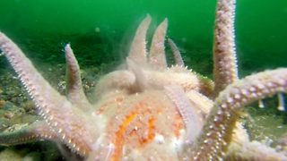Incredible footage shows cheeky starfish mating
