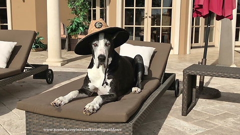 Beautiful Great Dane Relaxes on the Lounger in her Sun Hat