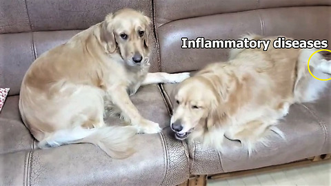 Compassionate Golden Retriever Brings Treats To Her Sick Sister