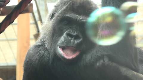 Curious gorilla just loves playing with soap bubbles