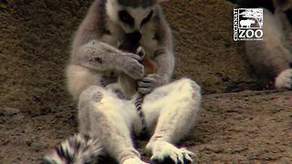 D'aww: Check out the zoo's new baby lemurs
