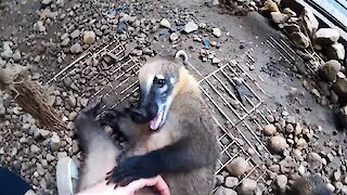 Super cute coati plays with caretaker just like a doggy