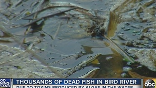 Thousands of dead fish found in Baltimore County waterways - Video