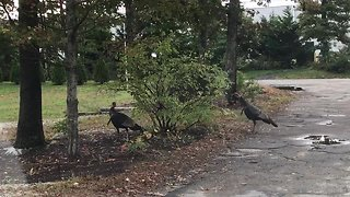 Playful turkeys chase each other around a bush